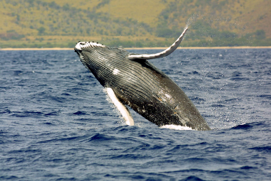 Welcome Spring with Whale Watching on the Gold Coast!